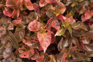 アカリファ 熱帯植物バックグラウンドの写真素材 [FYI00796861]