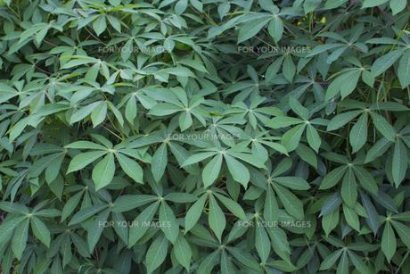 熱帯植物 バックグラウンドの写真素材 [FYI00796862]