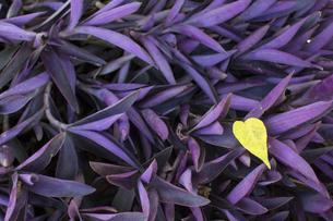 ムラサキゴテン 熱帯植物の写真素材 [FYI00796874]