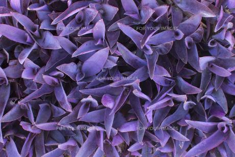 ムラサキゴテン 熱帯植物の写真素材 [FYI00796875]