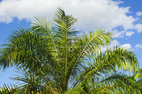 ヤシの木 の写真素材 [FYI00796876]