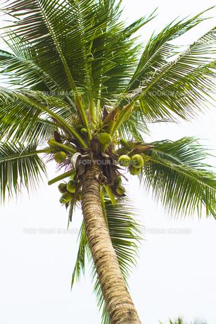 ヤシの木 の写真素材 [FYI00796877]