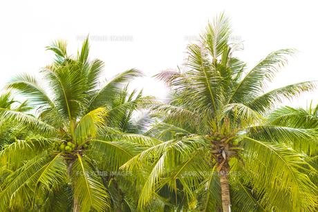 ヤシの木 の写真素材 [FYI00796878]