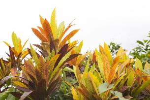 クロトン 熱帯植物の写真素材 [FYI00797056]