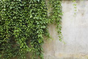 壁に植物 バックグラウンドの写真素材 [FYI00797066]