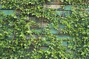 壁に植物 バックグラウンドの写真素材 [FYI00797069]