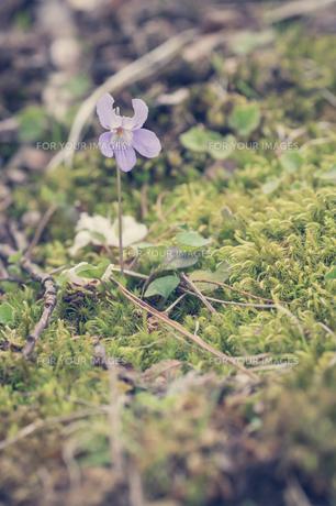 山里に咲くすみれの写真素材 [FYI00797095]