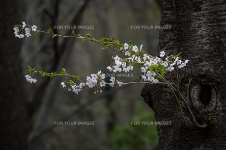 儚げに咲く山桜の写真素材 [FYI00797098]