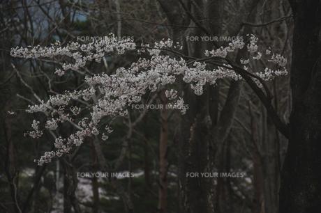 儚げに咲く山桜の写真素材 [FYI00797099]