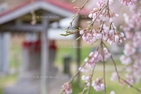 田村市永泉寺の枝垂れ桜の写真素材 [FYI00797102]