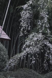 郡山市西田町の雪村桜の写真素材 [FYI00797106]