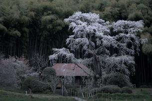 郡山市西田町の雪村桜の写真素材 [FYI00797107]