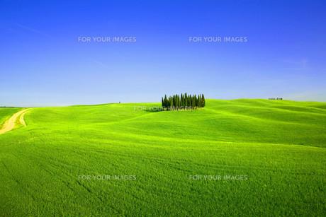 cypresses in tuscanyの素材 [FYI00797384]