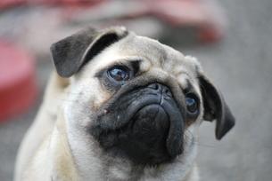 pugの写真素材 [FYI00797398]