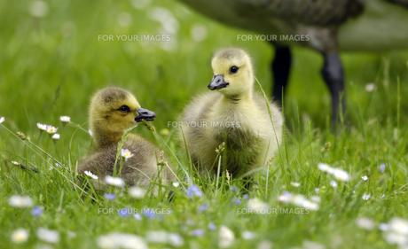 chickの写真素材 [FYI00797492]