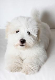 pure coton de tulear puppyの写真素材 [FYI00797568]