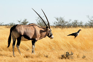 oryx antelope in etosha national parkの写真素材 [FYI00797621]