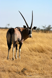 oryx antelope in etosha national parkの写真素材 [FYI00797626]