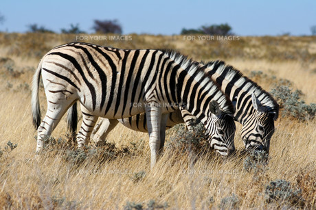 zebra in etosha national parkの写真素材 [FYI00797629]