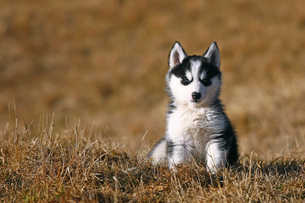 young husky sitting in the grassの素材 [FYI00797842]