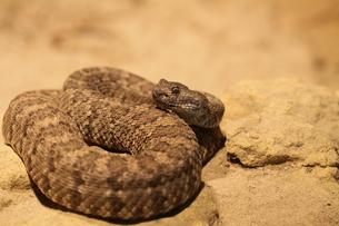 western diamondback rattlesnakeの写真素材 [FYI00798058]