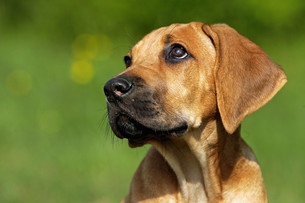 ridgeback puppyの写真素材 [FYI00798192]