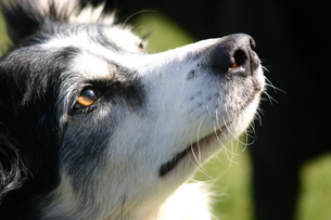 border collie nose close upの写真素材 [FYI00798259]