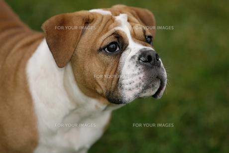 continental bulldog puppyの写真素材 [FYI00798483]