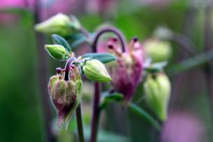 aquilegia vulgarisの写真素材 [FYI00798506]