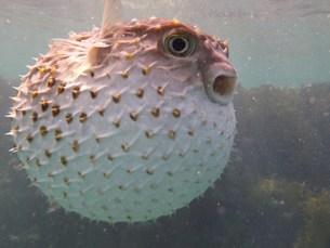 pufferfishの写真素材 [FYI00798715]