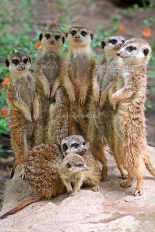 meerkatsの素材 [FYI00798724]