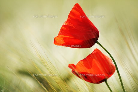 poppies in the cornfieldの写真素材 [FYI00799151]