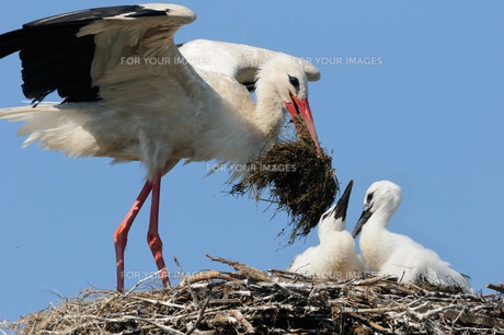 brood care at the storks iiの写真素材 [FYI00799178]