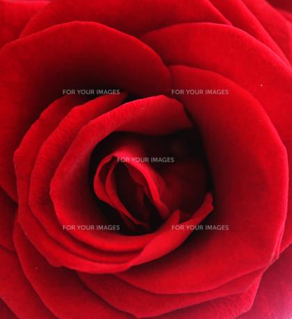 red roseの写真素材 [FYI00799194]