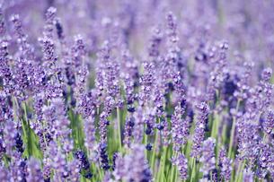 lavenderの素材 [FYI00799226]