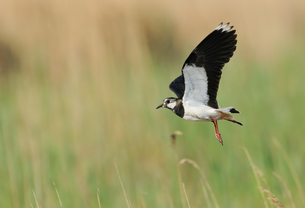 lapwing in flight 2の写真素材 [FYI00799250]