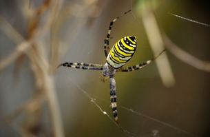 wasp spider with web in closeの写真素材 [FYI00799396]