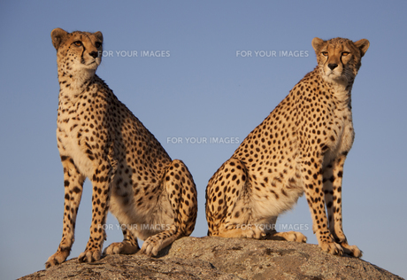 cheetah in the evening lightの写真素材 [FYI00799548]