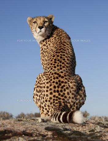 over the shoulder view cheetahの写真素材 [FYI00799549]