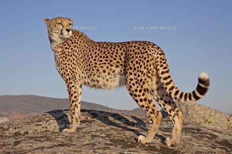 cheetah in the evening lightの写真素材 [FYI00799551]
