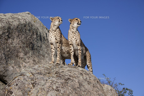 cheetahs pairの写真素材 [FYI00799553]