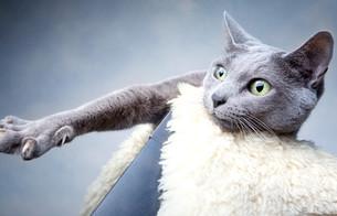portrait of a russian blue cat breedの写真素材 [FYI00799702]