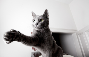 portrait of a russian blue cat breedの写真素材 [FYI00799705]