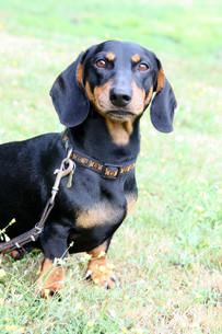 dachshundの写真素材 [FYI00799732]