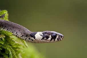 grass snakeの写真素材 [FYI00799829]