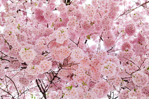 softly glowing cherry blossoms on the treeの写真素材 [FYI00800857]