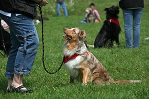 australian shepherd in the dog schoolの写真素材 [FYI00801642]