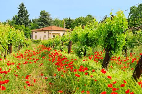 poppy in the vineyard - corn poppy in vineyard 01の素材 [FYI00801676]
