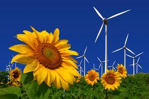 wind turbines behind a sunflower fieldの写真素材 [FYI00801715]