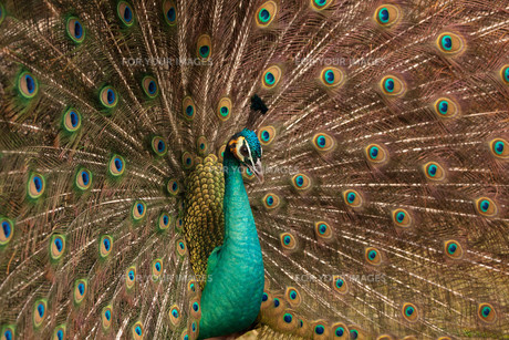 peacockの素材 [FYI00801812]